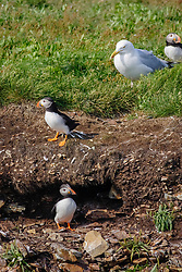 bird, Atlantic puffins, Fratercula arctica, at burrow and herring gull, Newfoundland, Canada