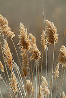 Phragmites a common reed it's a large marsh grass that has become an invasive plant in the wetlands.