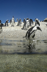 Penguin walking into the sea, Boulders Beach, Simon's Town, Cape Town, South Africa. (Credit Image: © Axiom/ZUMApress.com)