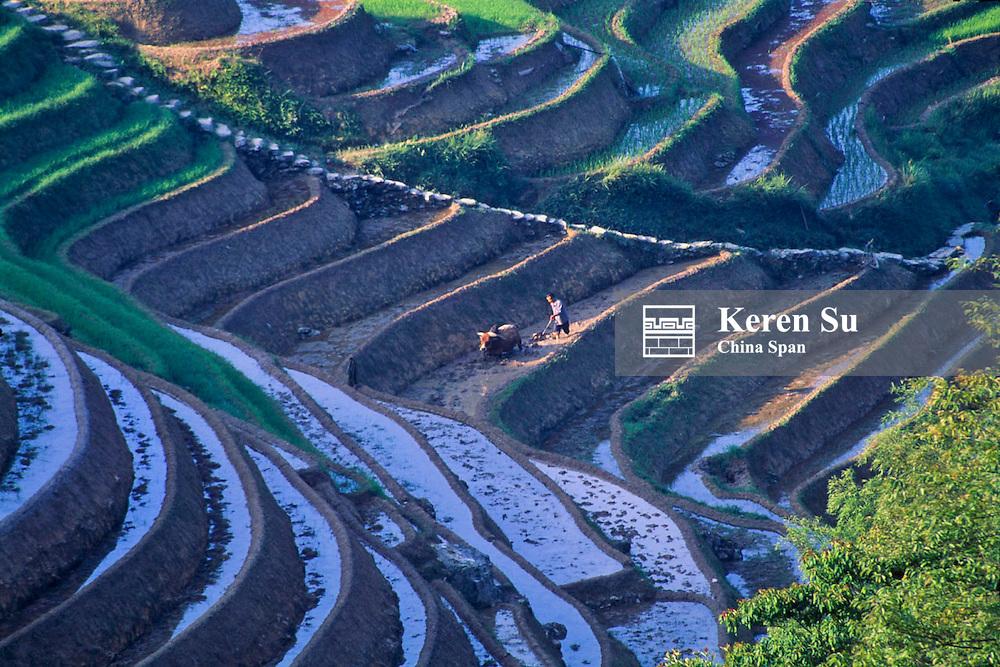 Farmer and water buffalo plough in the terraced rice paddies, Longsheng, Guangxi Province, China
