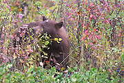 A Cinnamon Black Bear eating berries in Grand Teton National Park