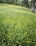 Spring, Yellow Flower, Yellow Flowers, Wildflowers, Flowers, Oak, Oaks, Oak Tree, Oak Trees, Pinnacles, Pinnacles National Monument, California , Pinnacles National Park,