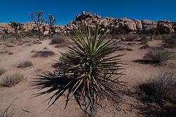 Mojave Yucca (Yucca schidigera), Barker Dam, Joshua Tree National Park, California