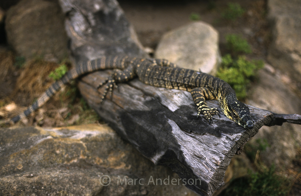 Lace Monitor, Varanus varius, sitting on a rock. Also known as a Goanna.