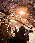 Photographers take pictures of cherry blossoms at the Tidal Basin as the sun rises, Wednesday, April 3, 2019, in Washington.