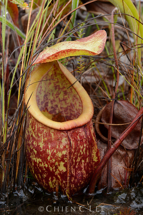 Nepenthes rowanae, one of only a few pitcher plant species endemic to Australia. This species grows only in ever-wet swamps of the Cape York Peninsula. Queensland, Australia.