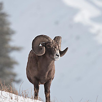 mature trophy bighorn sheep in snow wild rocky mountain big horn sheep