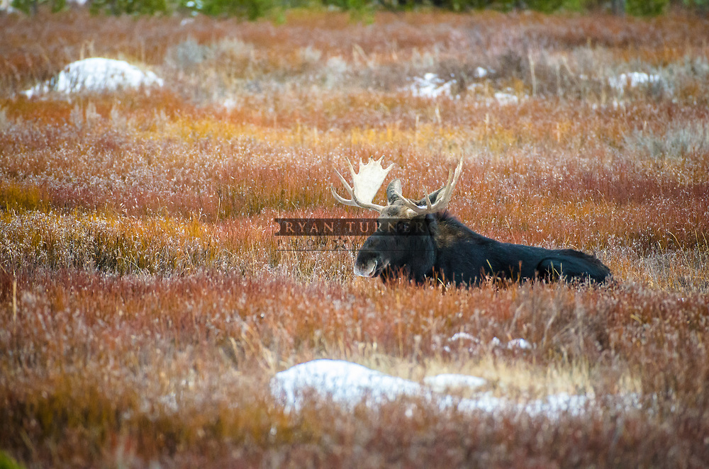 Bull Moose laying down in the fall in Montana.