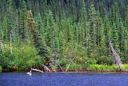 Pacific loon on Vet Lake. North of Bettles, Alaska