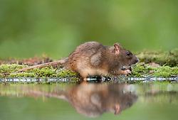 Bruine rat; Brown rat; Rattus norvegicus