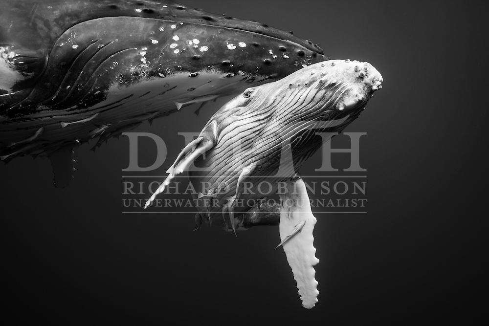 Megaptera novaeangliae (Humpback Whale) female and calf off the coast of the Vava'u Island group in the Kingdom of Tonga.<br /> Saturday 01 September 2012.<br /> Photograph Richard Robinson &copy; 2012.
