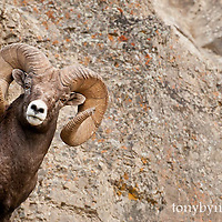 bighorn ram on rocks wild rocky mountain big horn sheep