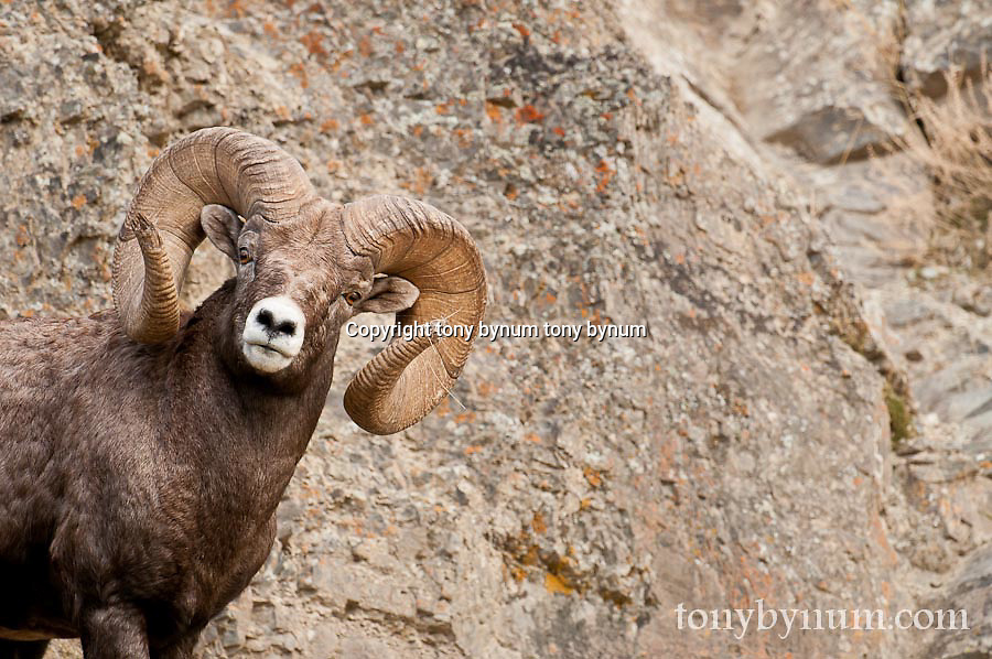 bighorn ram on rocks wild rocky mountain big horn sheep