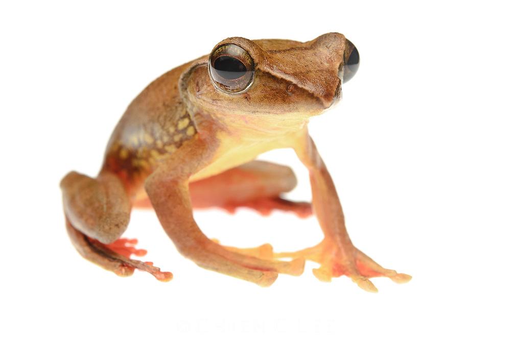 Red-legged Frog (Rhacophorus rufipes). Sarawak, Malaysia.