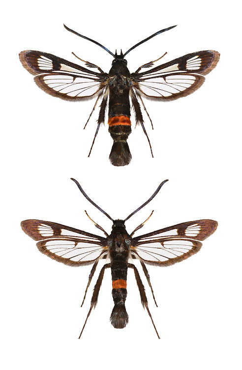 Red-belted Clearwing - Synanthedon myopaeformis<br /> 52.011 BF379