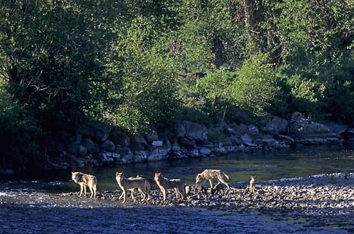Gray Wolf, (Canis lupus) Pack with pups hunting along river. Rocky mountains. Montana. Captive Animal.