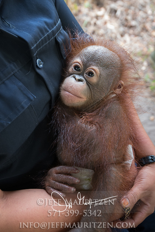 An infant orpahned Bornean orangutan, Pongo pygmaeus is held by a woman at the Orangutan Care Center, Orangutan Foundation International in Borneo, Indonesia.