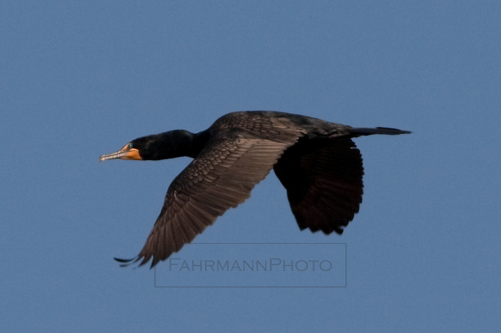 Double-breasted Cormorant in flight