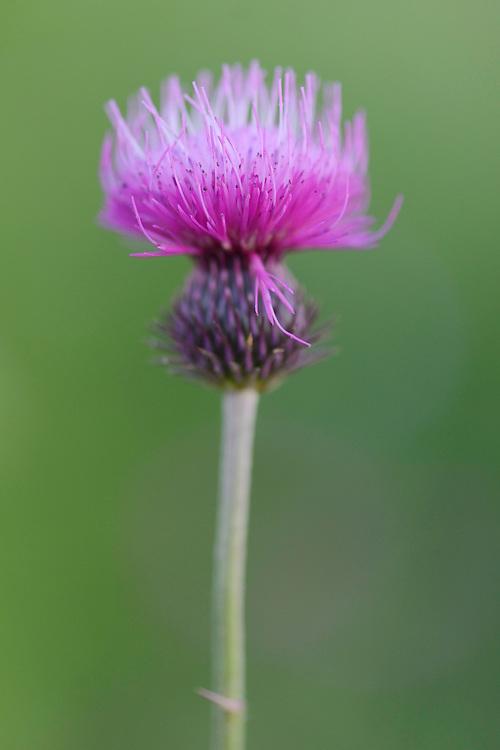 Buy Brook thistle, Cirsium rivulare, Eastern Rhodope mountains, Bulgaria