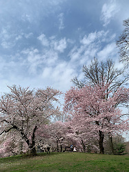 Flowering trees in Central Park, New York City