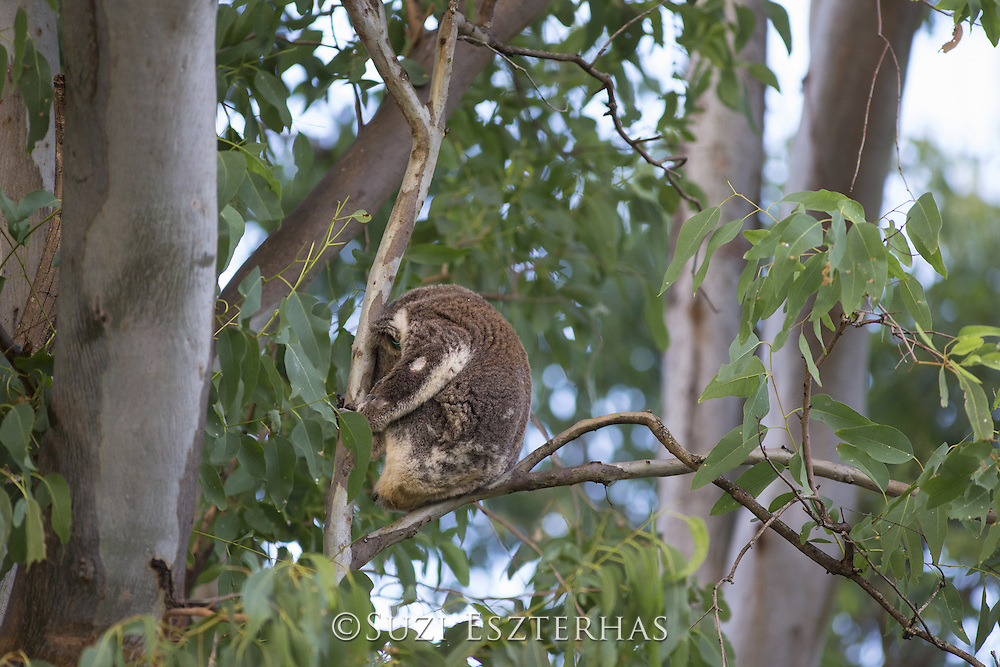 Koala<br /> Sleeping<br /> Phascolarctos cinereus<br /> Noosa National Park, Queensland, Australia