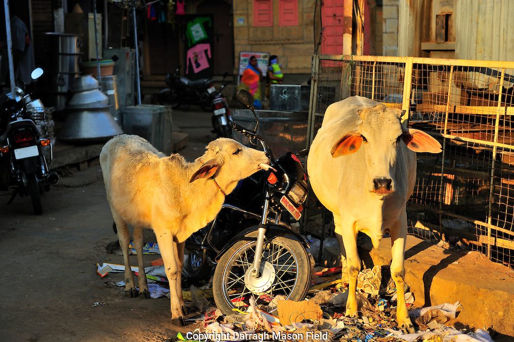 Sacred Cows in Jaisalmer standing trash by a parked motorcycle