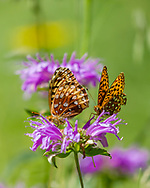 Fritillary butterflies  on horsemint blossom, not feeding, mountain meadow, Jemez Mountains, NM, © 2010 David A. Ponton