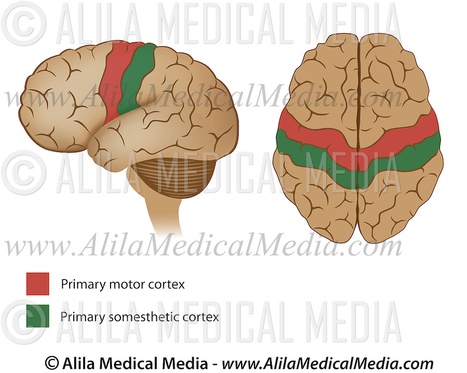 Motor And Sensory Areas Of The Brain Alila Medical Images