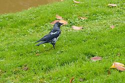 Corvus monedula, Kauw