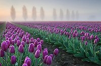 Foggy Sunrise over the Skagit Valley Tulip Fields