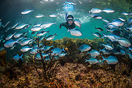 12yr old snorkelling with Blue maomao fish at the Mokohinau islands.