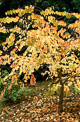 Cercidiphyllum japonicum at The Dingle, Powis<br /> Katsura tree<br /> Fallen leaves smell of burnt sugar or toffee when crushed