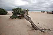Sardegna, Italy. Sardegna, Italy. Costa del sud, tratto di spiaggia presso Chia nel comune di Domus De Maria. Ginepro sulla spiaggia. Chia beach in south Sardinia