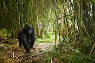 A female gorilla walks through a bamboo forest in Virunga Mountains, Rwanda.