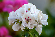 White Geranium flowers. A pink speck in the centre