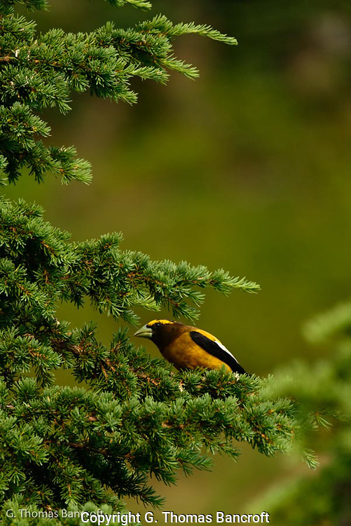 An evening grosbeak peers out from a mt. hemlock tree.