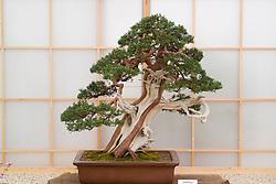 Bonzai tree - Juniperus chinensis. Heron's Bonsai - Chelsea 2005