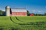 wheat field and red barn<br />