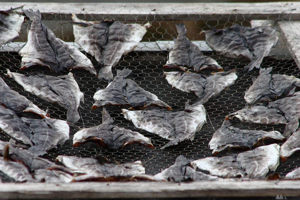 Fish laying out to dry in Tasiilaq, south-eastern Greenland