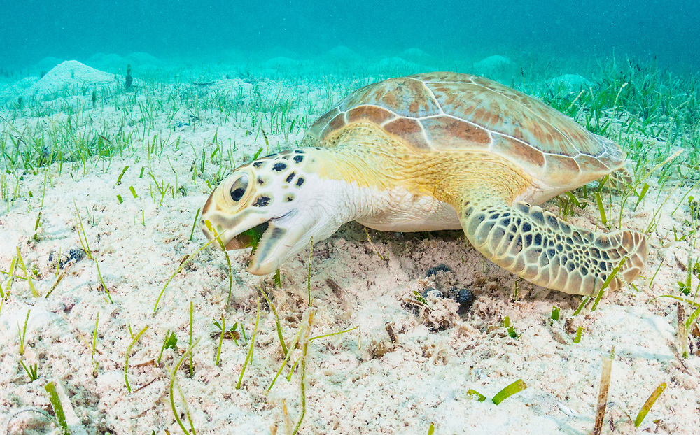 Green sea turtles dine almost exclusively on seagrass which helped coin Thalassia testudinum's common name 'turtlegrass'.