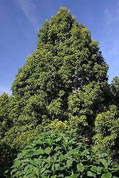 27.07.2014, Bali, IDN, Natur und Sehenswuerdigkeiten in Indonesien, im Bild Gewuerznelken-Baum (Syzygium aromaticum) am Rande der Strasse, Bali, Indonesien. EXPA Pictures © 2014, PhotoCredit: EXPA/ Eibner-Pressefoto/ Schulz<br /> <br /> *****ATTENTION - OUT of GER*****