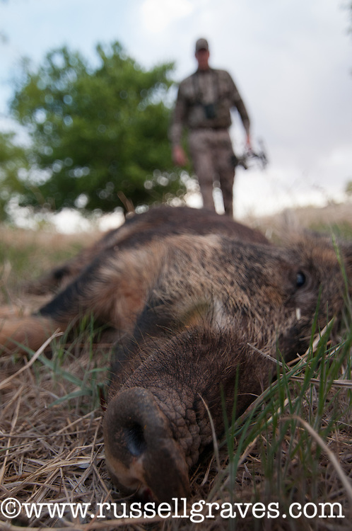 BOWHUNTER WITH A HOYT BOW APPROACHING A DEAD FERAL HOG SOW