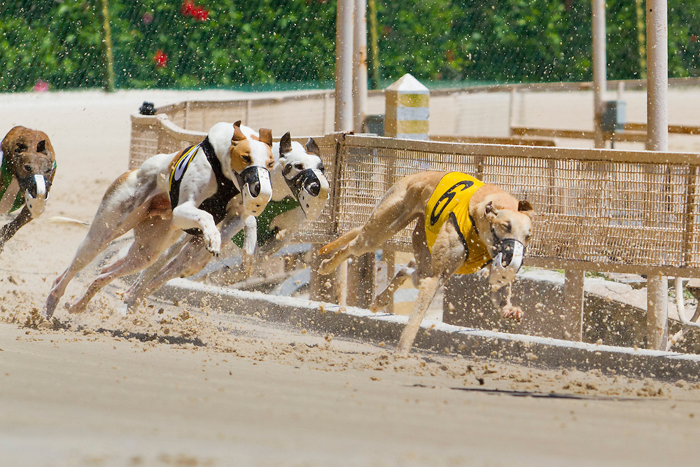 Derby Lane in St. Petersburg has Greyhound racing every evening Monday through Saturday and has matinee racing on Wednesdays and Saturdays..Photo by James Branaman