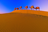 A line of camels mounts a rise in the Kanoi Sand Dunes, Thar Desert near Jaisalmer, Rajasthan, India