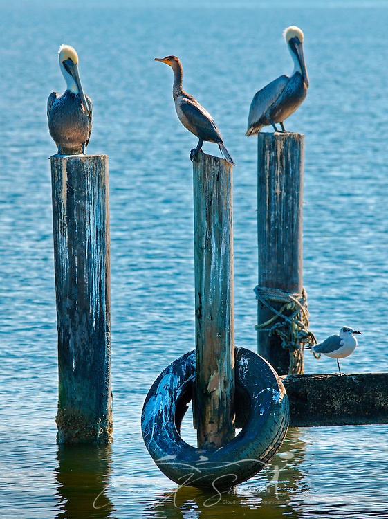 Brown pelicans and other shorebirds perch on pilings at the Bayou La Batre State Docks in Bayou La Batre, Ala., Nov. 23, 2012. (Photo by Carmen K. Sisson/Cloudybright)