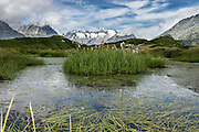 Icy peaks and pond plants along Aletsch Panoramaweg above Riederalp in the Pennine/Valais Alps, Switzerland, Europe. The Swiss Alps Jungfrau-Aletsch region is honored as a UNESCO World Heritage Site.