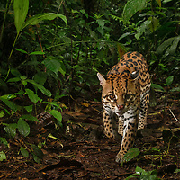 An infrared camera trap captures a male Ocelot (Leopardus pardalis) on his daily hunt for prey in the Chocóan cloud forest of western Ecuador. One of six species of wild cats in this region, the shy and seldom-seen Ocelot is a predator of small animals including birds, rodents, and reptiles.