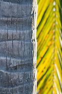 Cocos nucifera (coconut palm) bark and frond, Walton's Mango Manor, Cayman Brac, Cayman Islands.