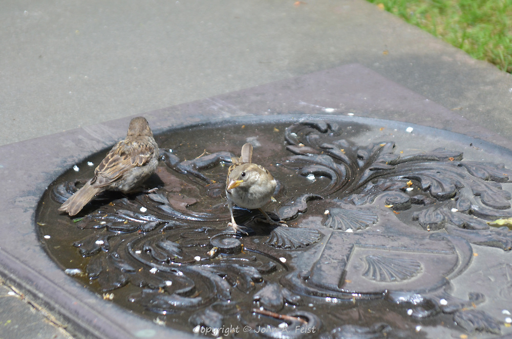 Two sparrows having a drink from a manhole cover in Boston, MA