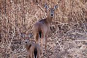 Two very alert White-tailed Doe in field.<br /> Savannah National Wildlife Refuge<br /> -South Carolina U.S.A
